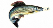 Sticker  Grayling small